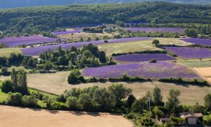 lavender-Sault